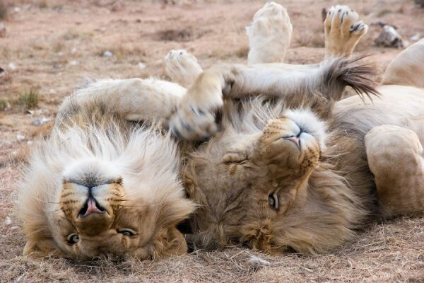 Fancy sleeping with the lions? One of the most unusual things to enjoy in the capital.